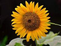 sunflower-4685712_1280