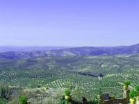 The Olive Groves of Jaen