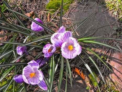 The last of this years crocus - the sun finally came out here in Seattle!