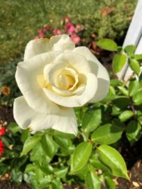 White JFK Rose