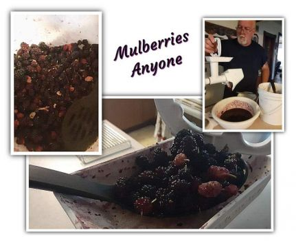 Mulberries Anyone