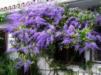Petrea ---Queen's Wreath  for Jan42ful