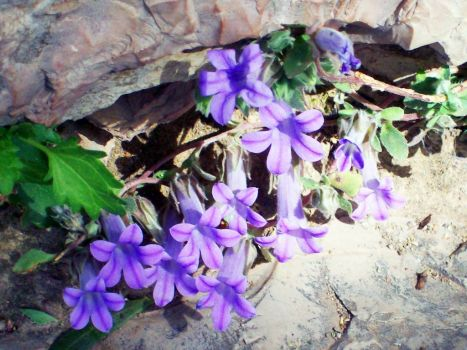 FLOWERS IN THE ROCK