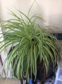 my spider plant, 20 months old