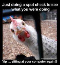 Nosy chicken