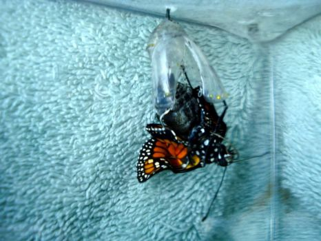 Monarch Butterfly breaking out of chrysalis.