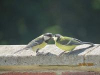 Young Great Tit's feeding time