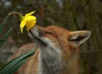 foxy flower