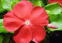 RED PERIWINKLE...