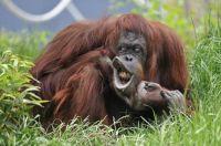 Orangutan being cheeky