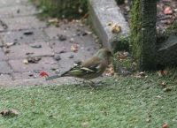 male chaffinch in our garden