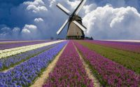 Tulip fields, 1