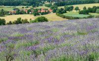 Lavendelfeld mit Dorf
