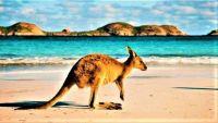 Kangaroo-at-Lucky-Bay