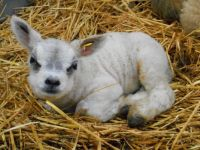 Curious looking lamb