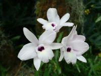 White orchid with purple throat MOBOT