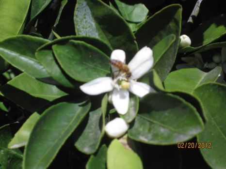 The oranges will soon be in full fragrant flower