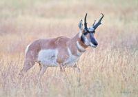 American Pronghorn (Antilocapra americana)