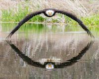 bald-eagle-shot-728x582