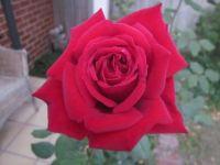 Don Bradman Rose