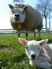 Mum keeps a close eye on her lamb