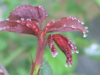 Japanese Maple with dew drops