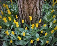Yellow Tulips, NYC