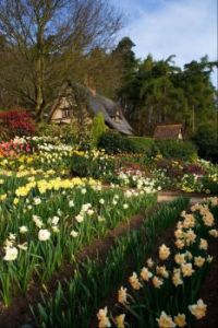 Spring Cottage Garden full of Daffodils and Tulips.