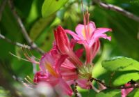 Azalea in my yard