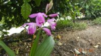 "This is a hardy Chinese orchid, ""Bletilla hyacintha""."