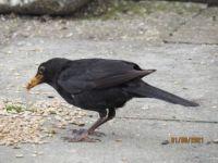 Male Blackbird with a very full beak