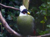 White-crested Touraco