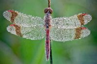 Morning dew on dragon fly