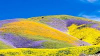 "California's Rare ""Super Bloom"" Flowers"
