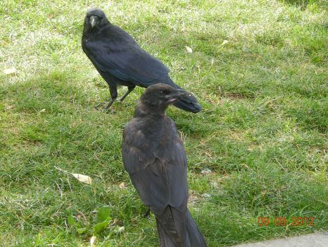 Crows in the Park
