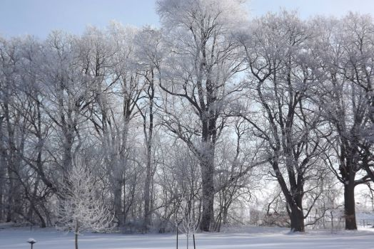 Frosty Catalpa Trees