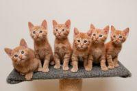 6 orange kittens