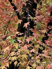 Fall colors - Sacramento