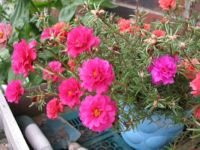 Moss Rose...I love these little guys!