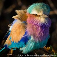 Lilac-breasted Roller (Coracias caudatus) on a cold morning