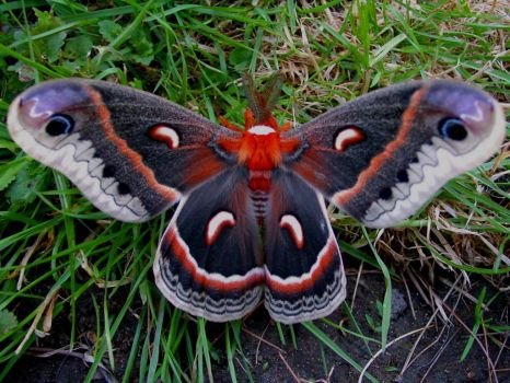 Seldom seen - Cecropia moth - picture from internet