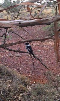 Butcher Bird in camp