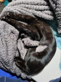 Post-spaying cat kinesiology--medium