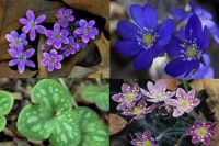 Guess: What is this Spring Wildflower that Appears in Every Shade of White, Pink, Blue, Purple?