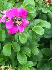 Three bees in a rose hips flower!