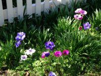 Spring garden in Edenton