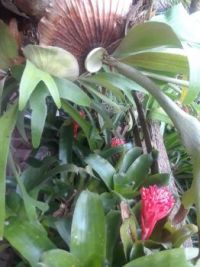 My bromeliads are starting on a blooming spree this week, 3 coming in so far.  My staghorn fern hangs above them.