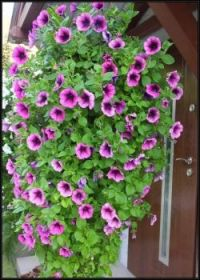Převislé petúnie...   Overhanging petunias...