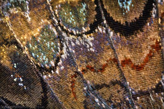Red Admiral Butterfly wing scales -  Macro