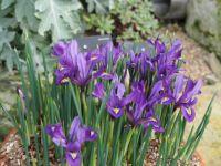 Iris, Kew Garden London